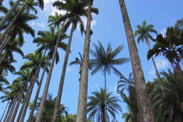 Paseo de palmeras imperiales, el símbolo del Jardin Botanico Rio de Janeiro