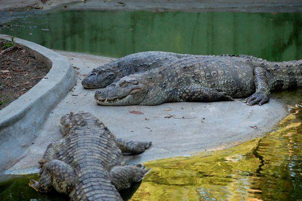 Varios jacarés descansando Quinta da Boa Vista Rio de Janeiro