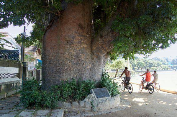 Baobab conocido como Maria Gorda Isla de Paqueta Rio de Janeiro