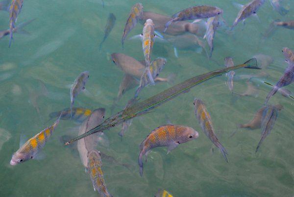 Pez aguja en la Laguna Azul Ilha Grande Isla Grande Rio de Janeiro