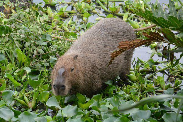 Capibara en el Parque Chico Mendes Flora y Fauna de Rio de Janeiro