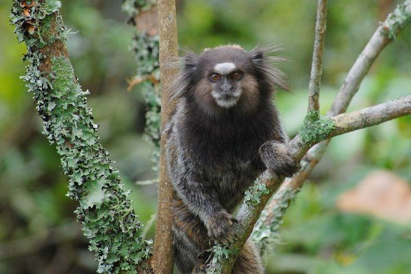 Los mico estrela son comunes de observar durante la caminata trekking morro de urca